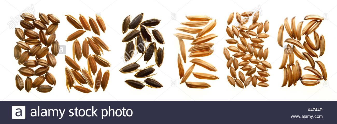 Diferentes variedades de semillas de arroz, que muestra la variación de la morfología de la forma y el color. Imagen De Stock