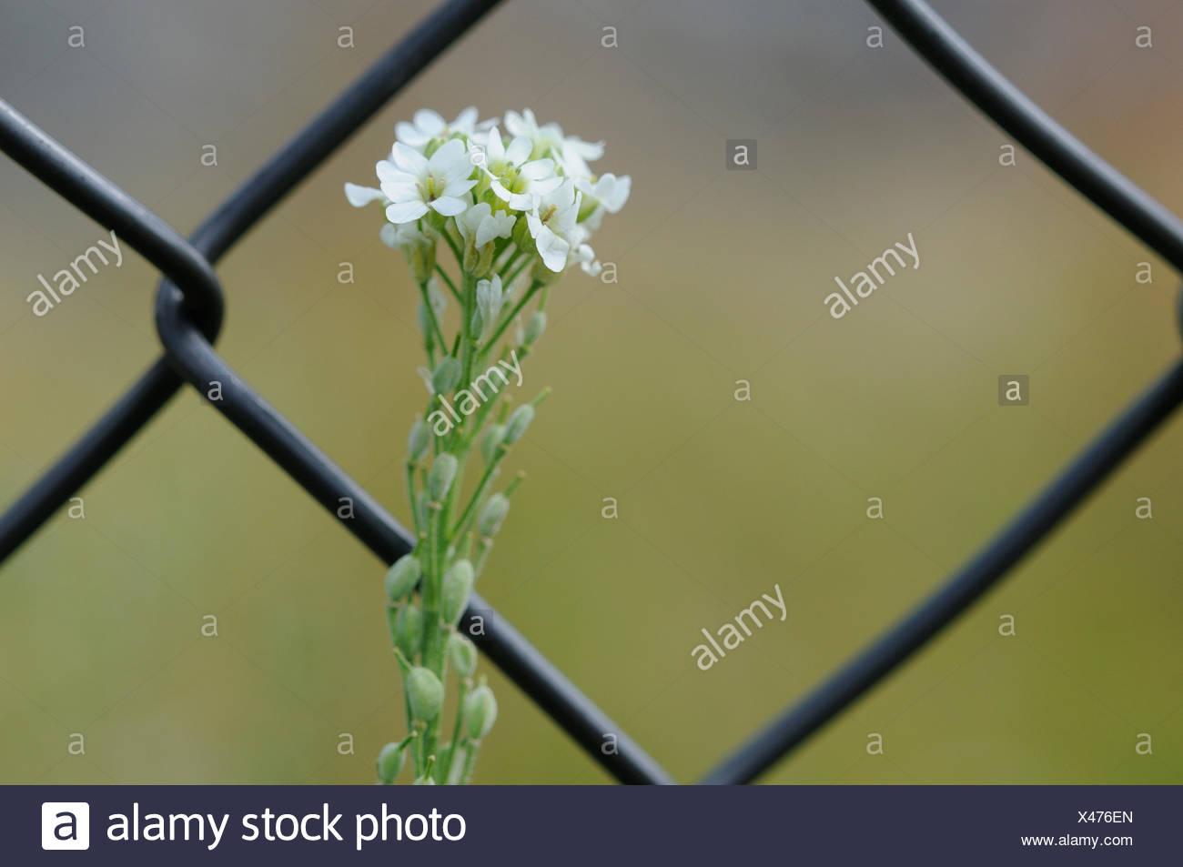 Floración alison canosos detrás de valla Foto de stock