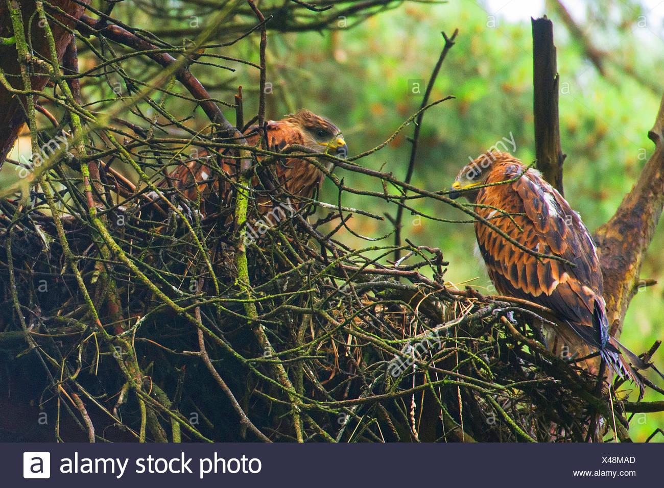 Milano real (Milvus milvus), dos jóvenes pájaros en el eyry sobre un árbol, en Alemania, en Renania del Norte-Westfalia Foto de stock