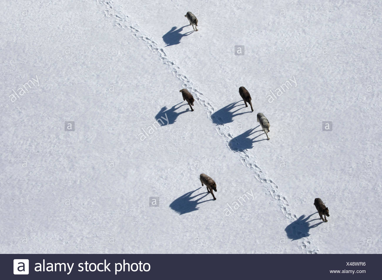 Una manada de lobos grises en movimiento en Wyoming, el Parque Nacional de Yellowstone. Imagen De Stock