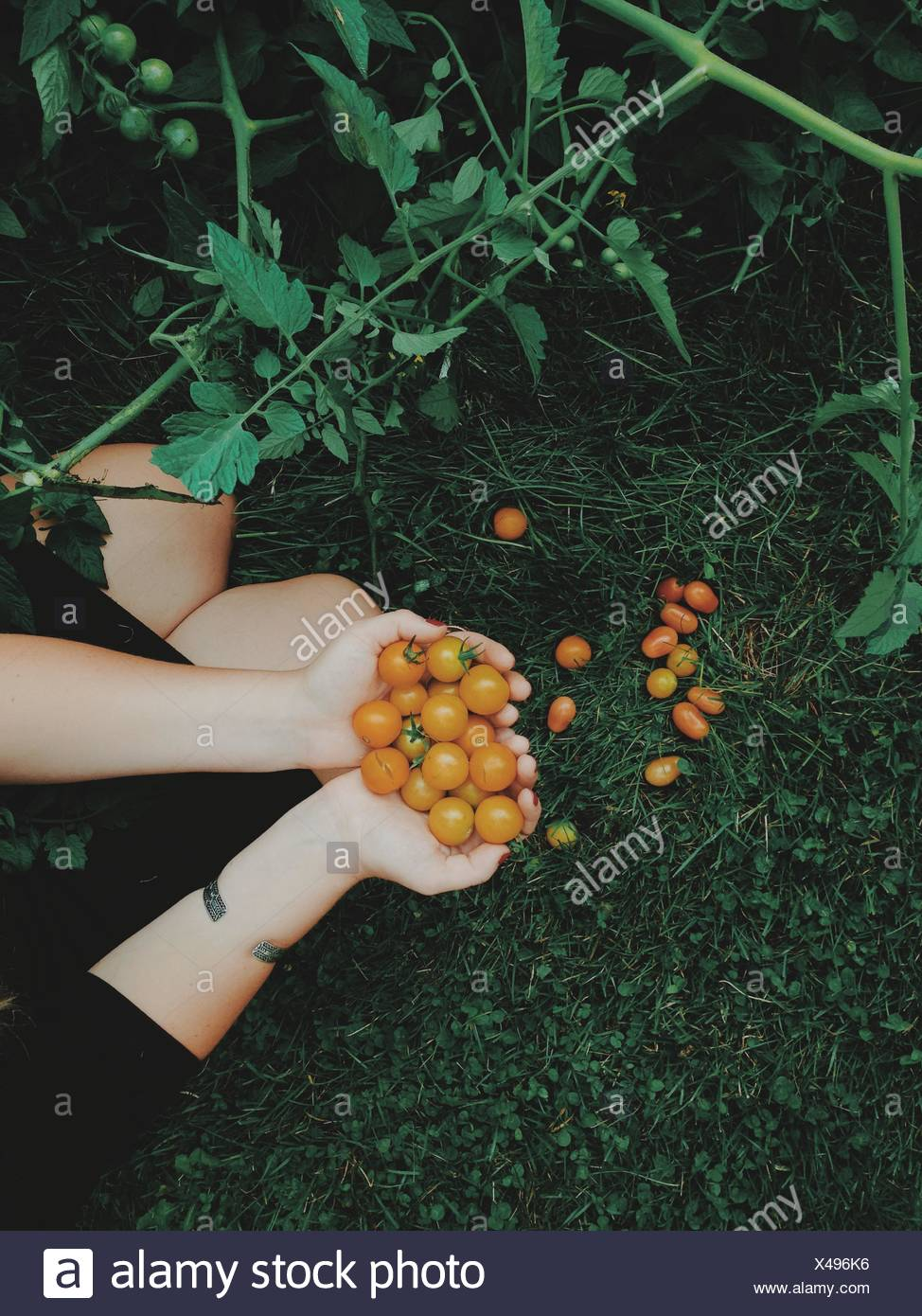 Mujer recogiendo tomates frescos Foto de stock