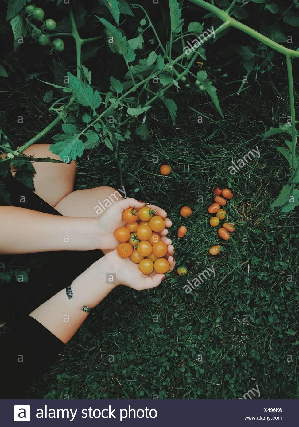 Vista aérea de la mujer sosteniendo los tomates recién elegido Foto de stock