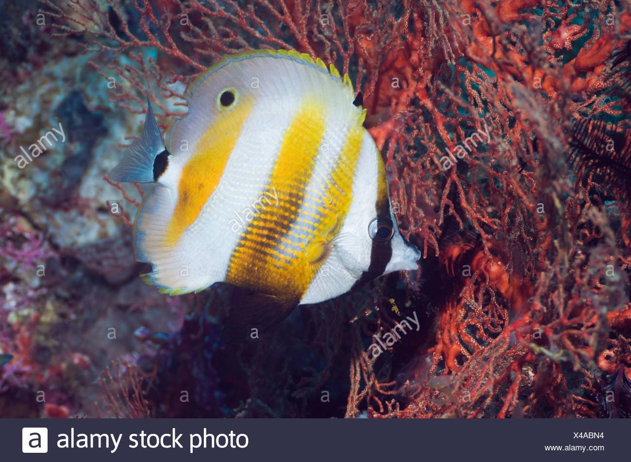 Naranja-banded coralfish alimentándose de pólipos de gorgonias. Misool, Raja Ampat, Papua Occidental, Indonesia. Imagen De Stock
