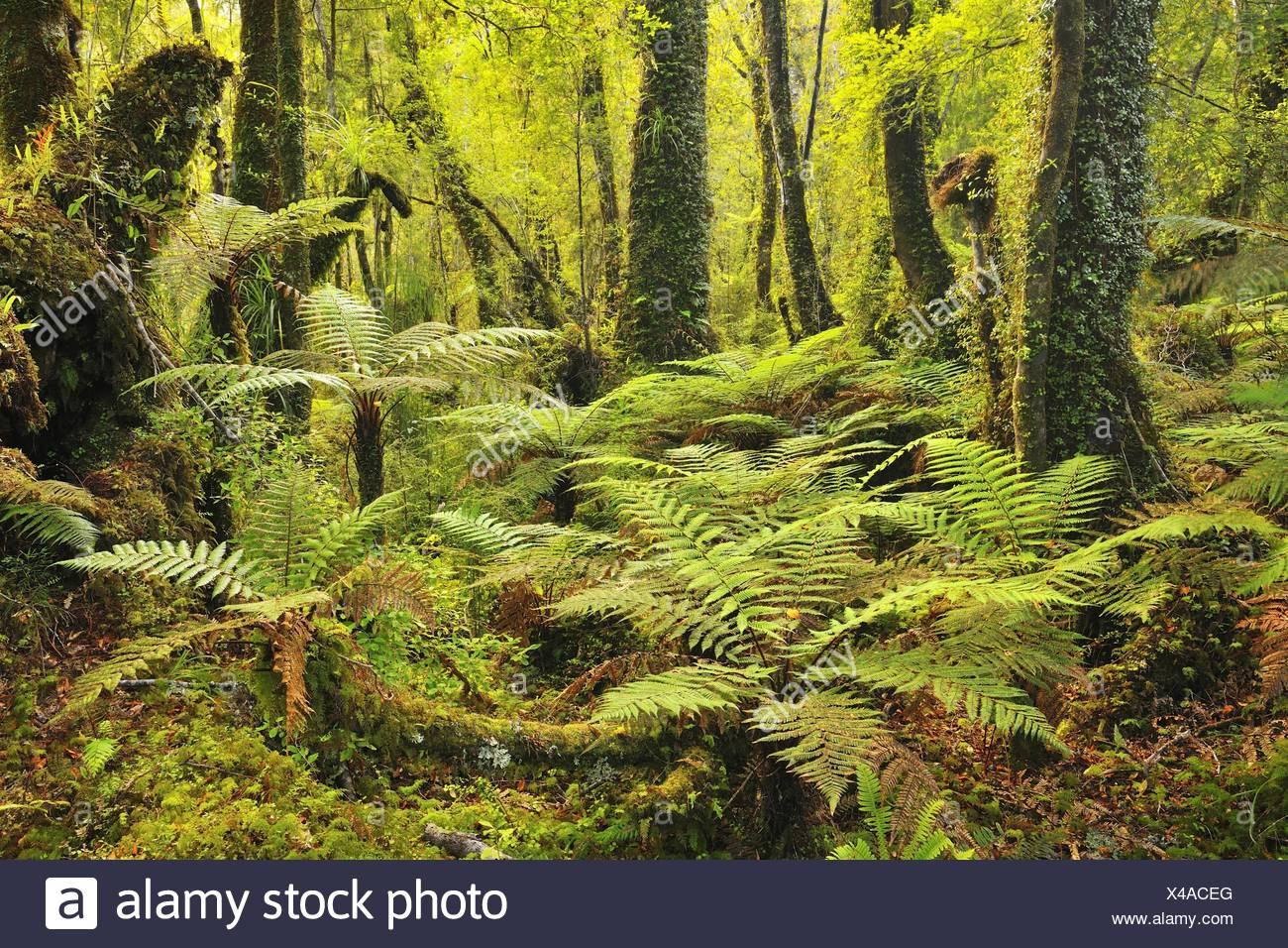 Bosque templado lluvioso con helechos arborescentes, Nueva Zelandia, Costa oeste, Haast Imagen De Stock