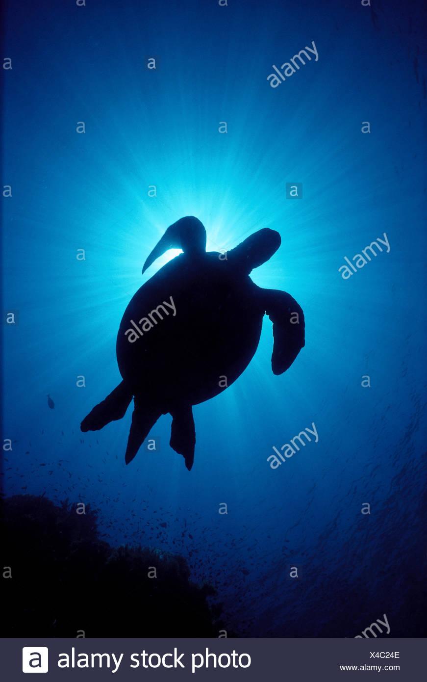 Hawaii Siluetas De Tortugas Marinas Verdes Sunburst Chelonia