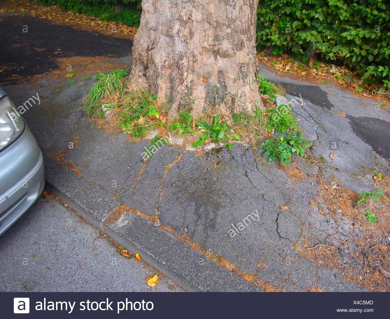 Las raíces del árbol abultamiento de superficie de asfalto, Alemania Foto de stock