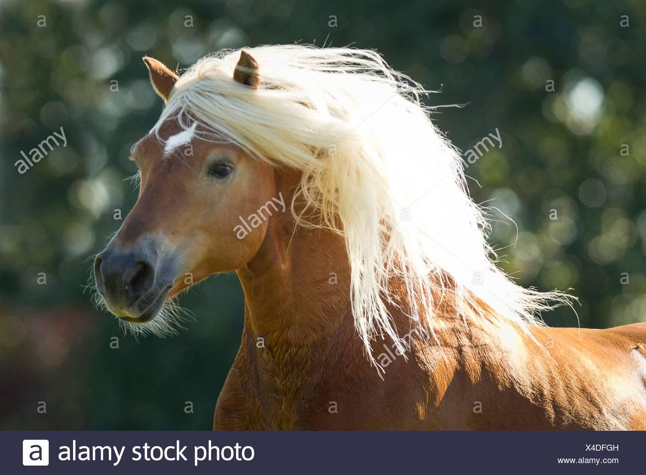 Caballos Haflinger. Retrato del semental Amigo Imagen De Stock