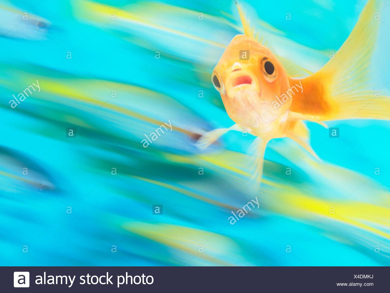 Gold Fish Con Escuela De Peces En Movimiento En El Fondo Compuesta