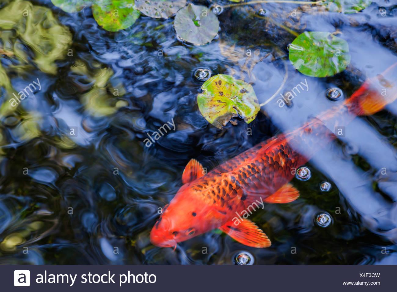 Close-up de un pez en el estanque, la Autorealizacion Beca Jardín de meditación, Encinitas, California, EE.UU. Imagen De Stock