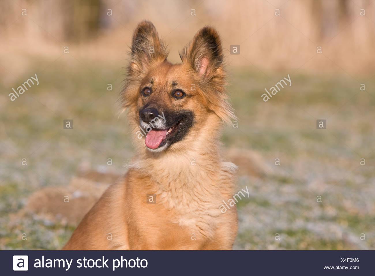 Una alerta perro color arena Imagen De Stock