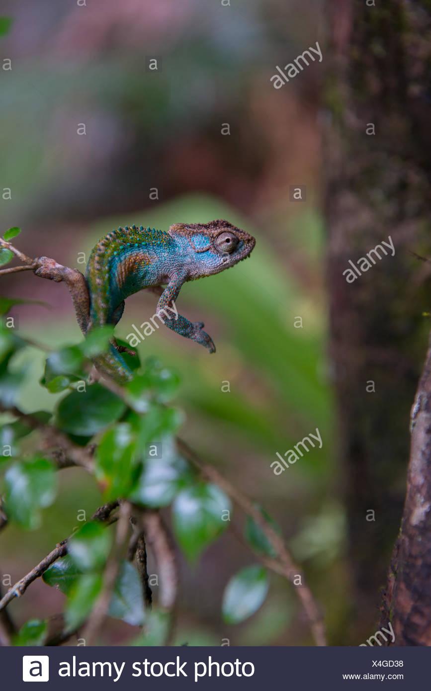 Un camaleón en Tugela Gorge en el área norte de Drakensberg. Foto de stock