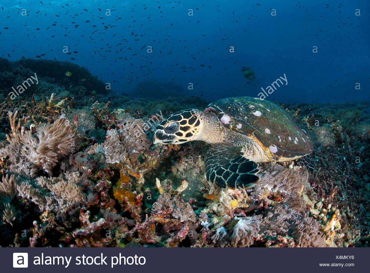 Tortuga carey (Eretmochelys imbricata),en el forraje a lo largo de arrecifes de coral,Nusa Penida, Bali, Nusa Lembongan,Indonesia Imagen De Stock