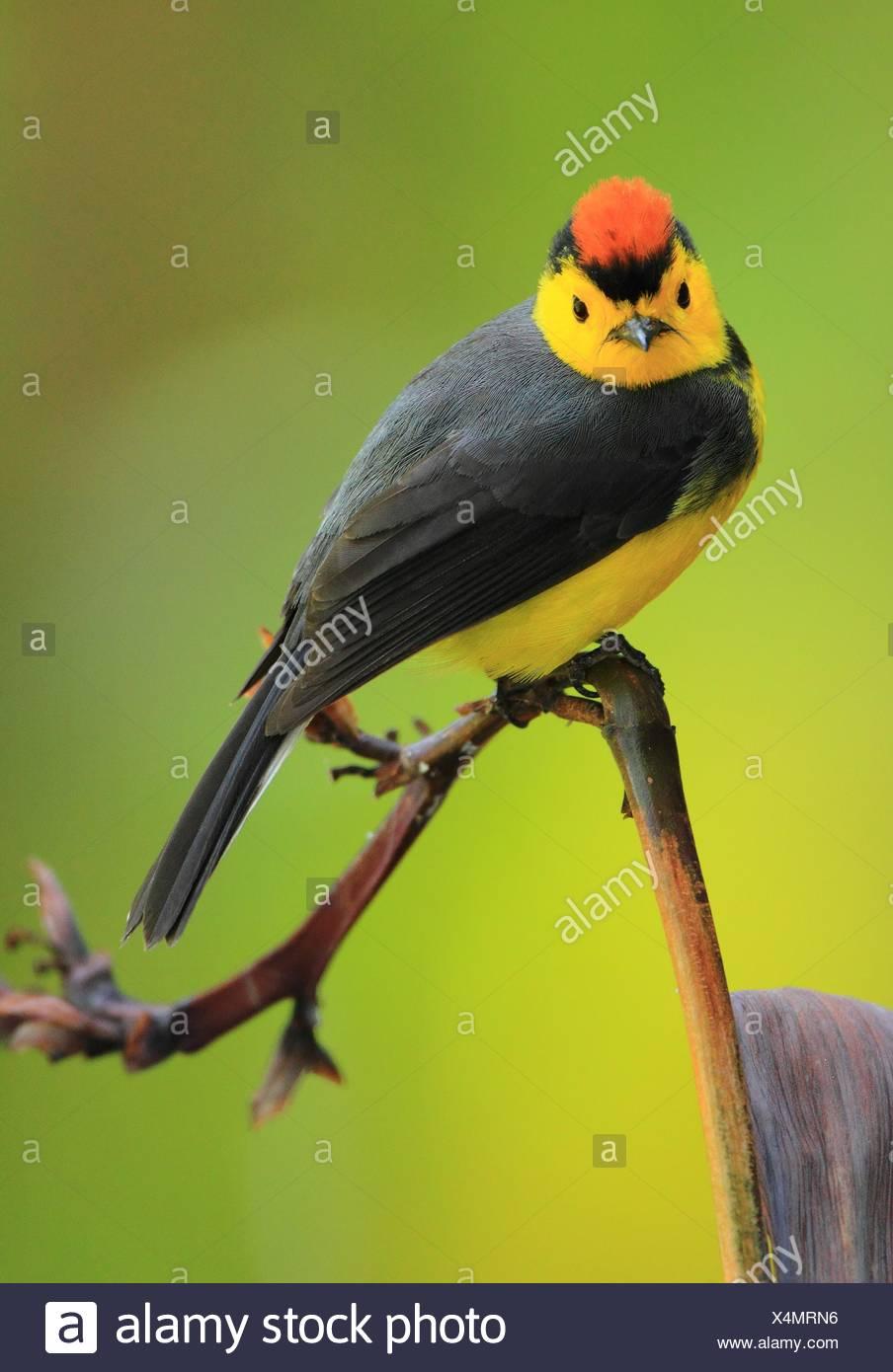 Candelita Collareja ó Amigo del hombre ( Myioborus torquatus) en el Cerro de la Muerte, San Gerardo de Dota, Costa Rica. Imagen De Stock