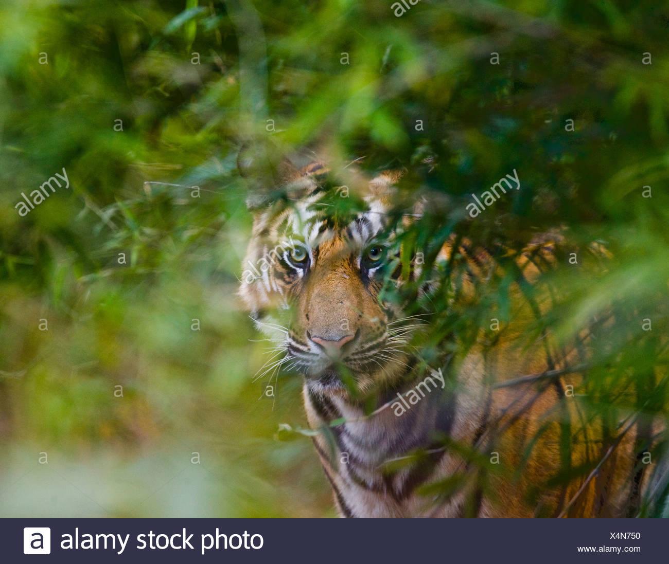 Tigre indio, Parque Nacional Bandhavgarh, India (Panthera tigris) Imagen De Stock