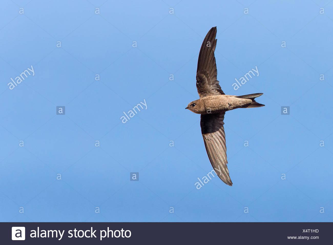 Cabo Verde Swift (Apus alexandri), adulto en vuelo, Sao Nicolau, Cabo Verde Imagen De Stock