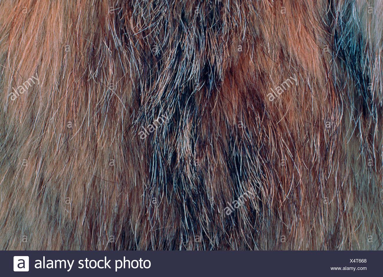 El lince eurásico (Lynx lynx), sección de la piel Imagen De Stock
