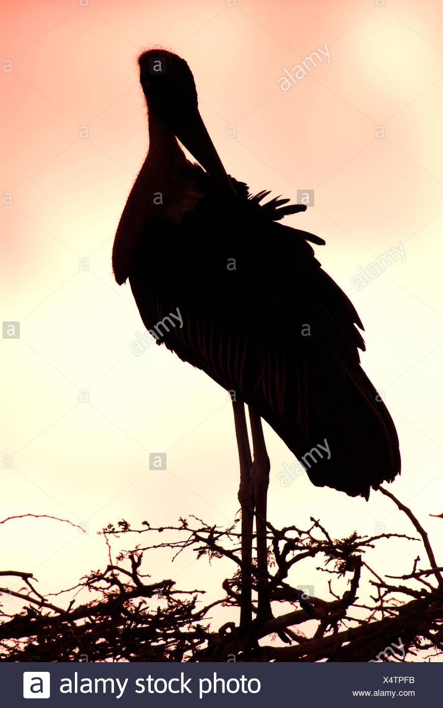 Leptoptilos crumeniferus Marabou Stork Lago Awasa Etiopía Foto de stock