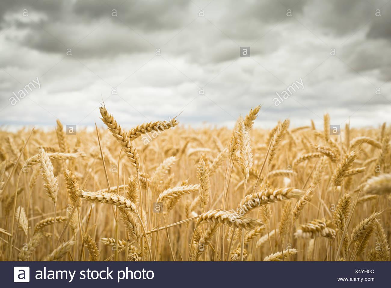 Campo de cultivos Imagen De Stock