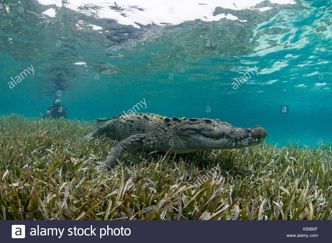 Vista submarina de cocodrilo sobre algas marinas en aguas poco profundas, el Atolón de Chinchorro, Quintana Roo, México. Foto de stock