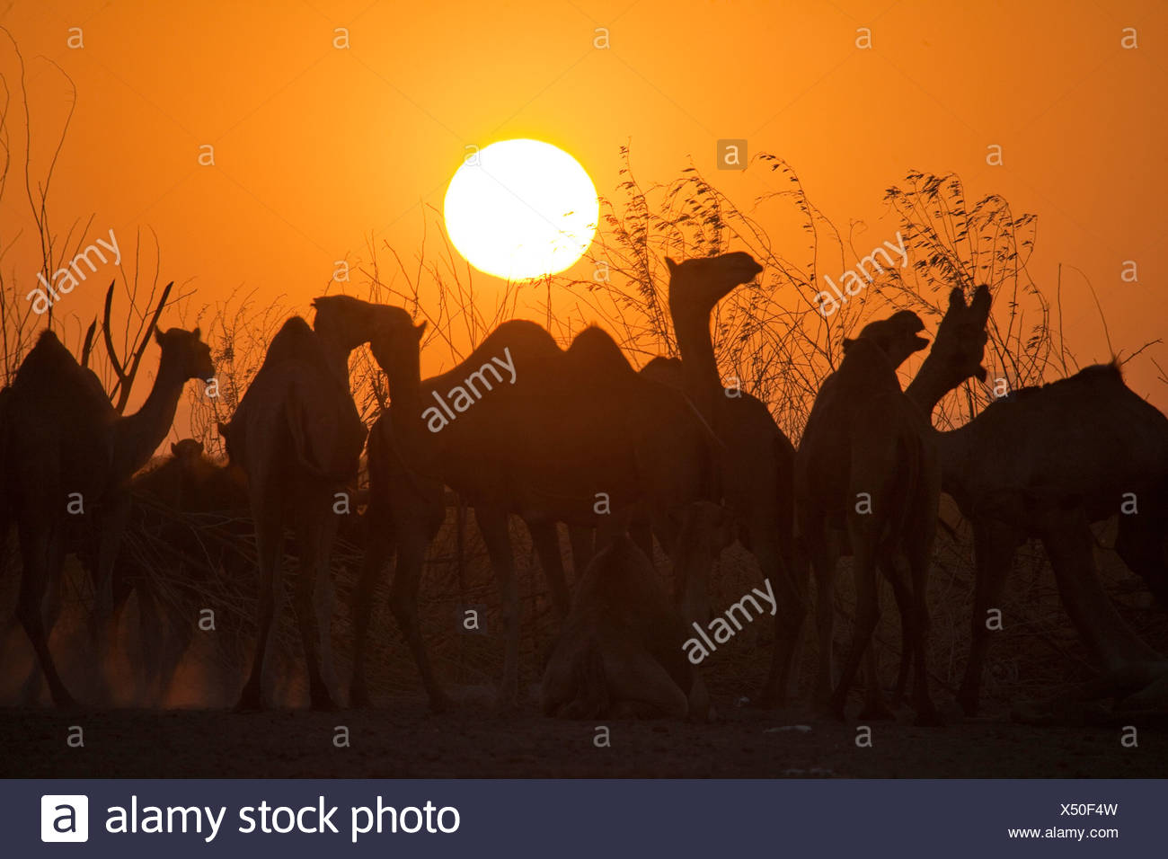 Los camellos, luz del atardecer, África, animales, Etiopía, sundown, puesta de sol, Foto de stock