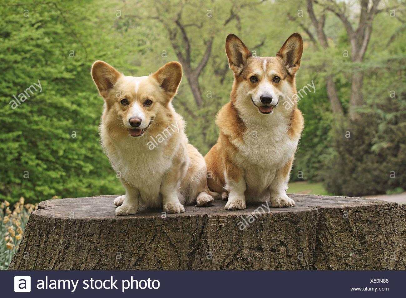 Dos Pembroke Welsh Corgis - sentado en el tocón Foto de stock
