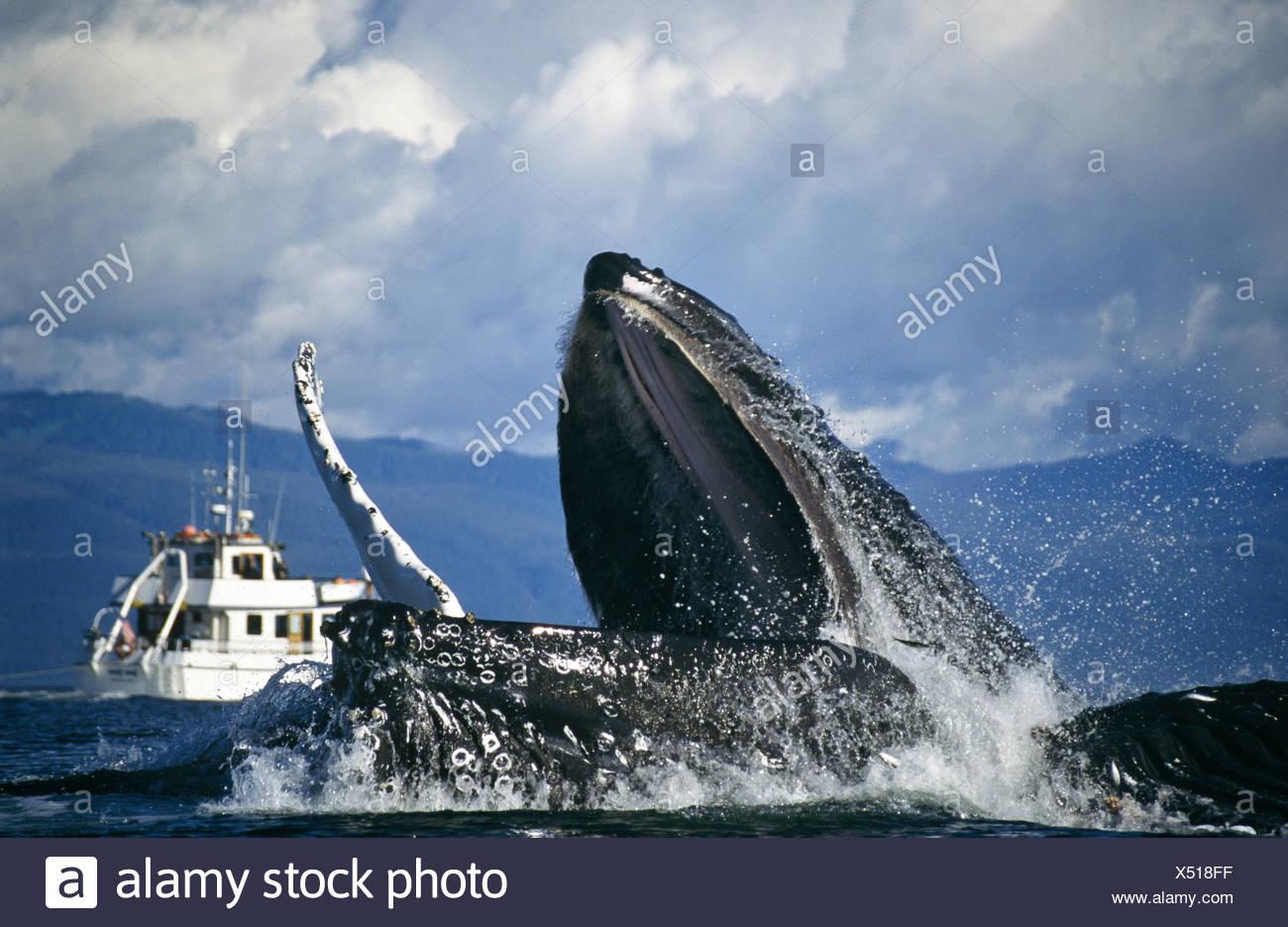 Las ballenas jorobadas bubblenet alimentación, Estrecho de Chatham, al sureste. Alaska Foto de stock