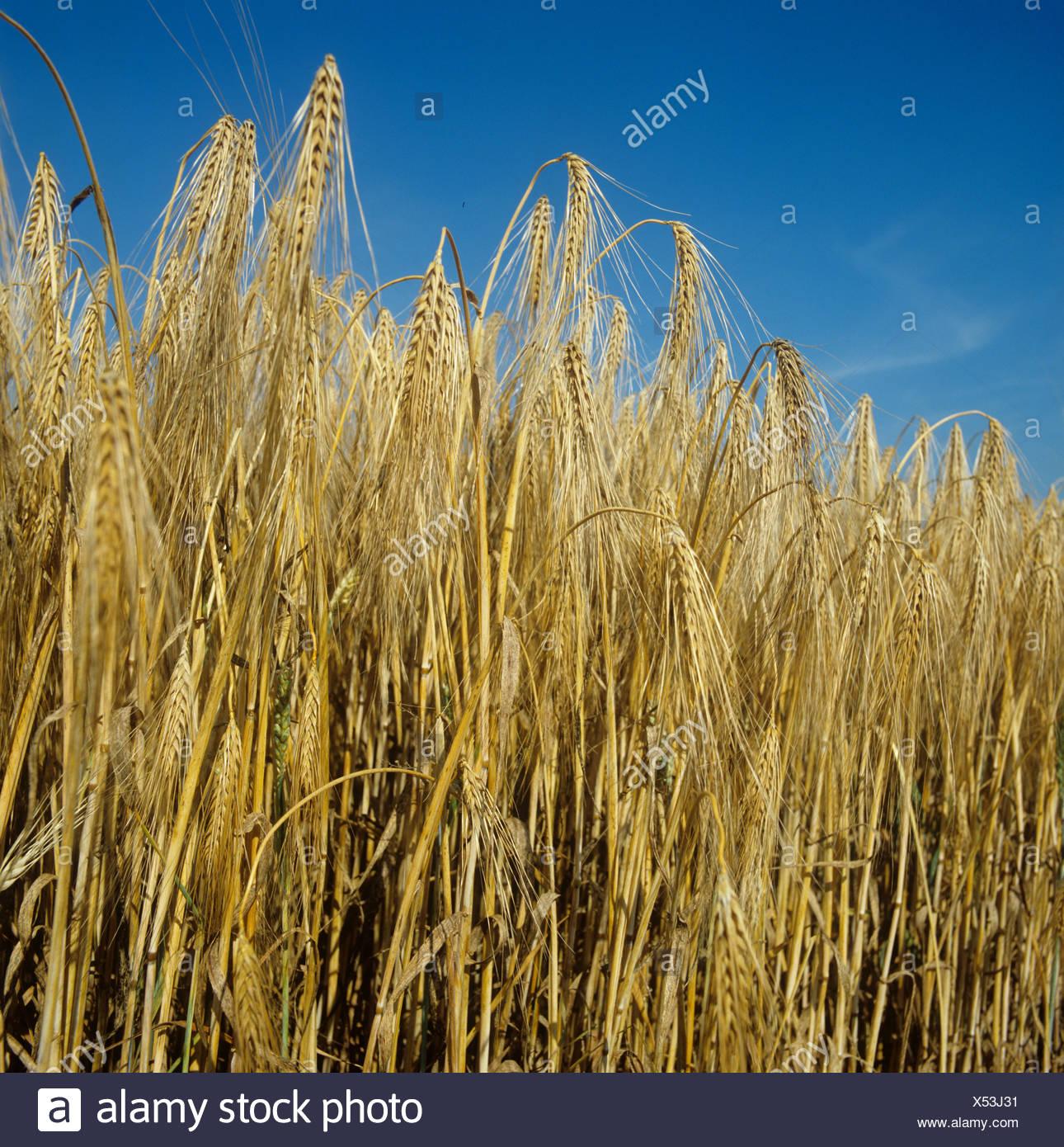 Maduras de cebada de seis hileras contra el azul intenso del cielo de verano Imagen De Stock