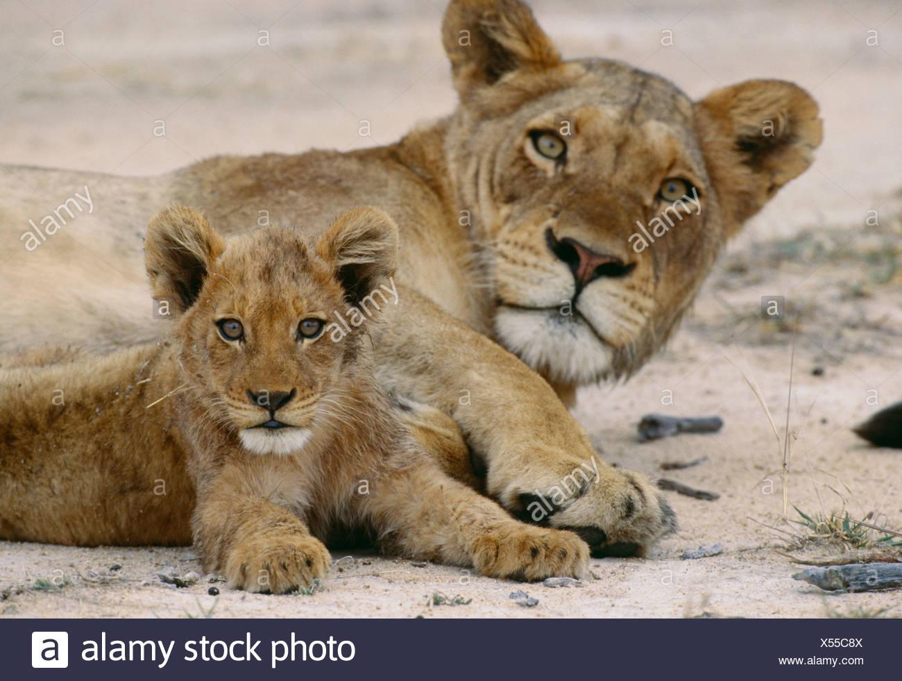 Y un cachorro de león africano, el Parque Nacional Kruger, Sudáfrica Imagen De Stock