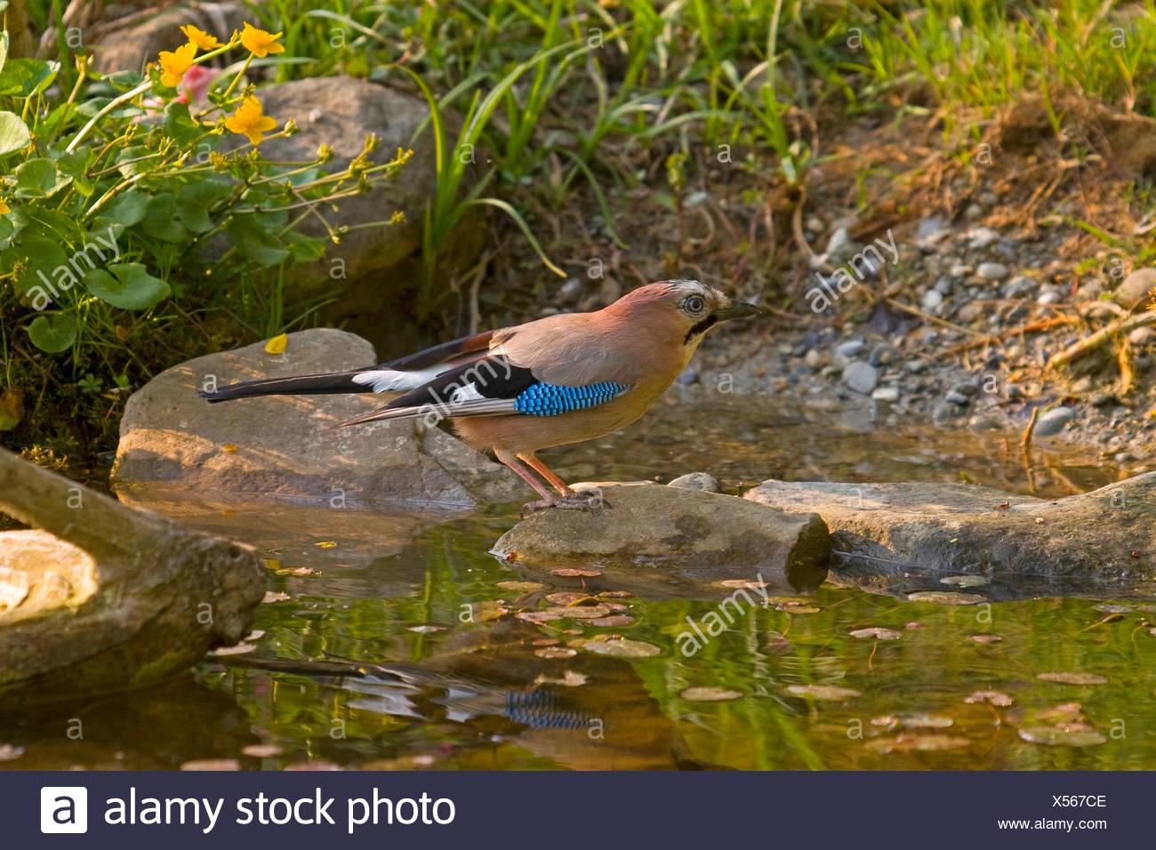 Jay (Garrulus glandarius), de pie sobre una piedra en un estanque cercano a la superficie, Suiza, Sankt Gallen Imagen De Stock