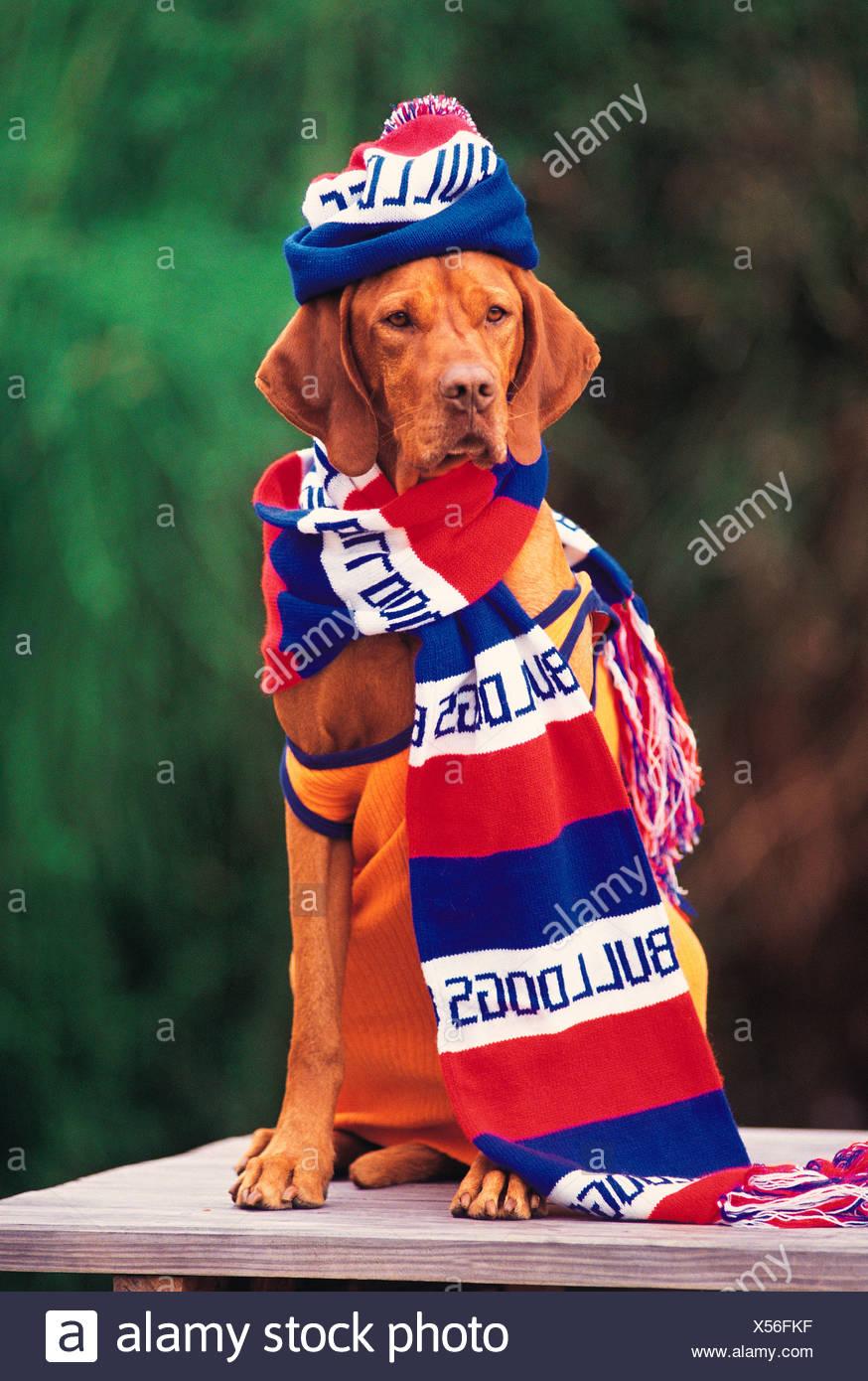 Mascota perro Visla húngara vestida con ropa de simpatizantes del equipo de fútbol. Concepto de humor. Imagen De Stock