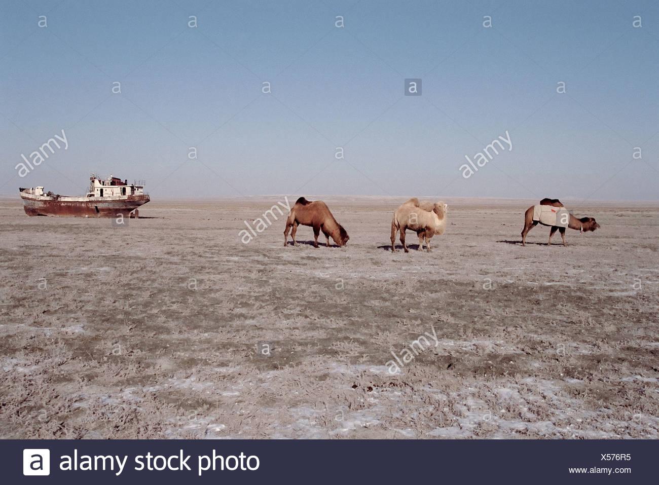 Los camellos pastan donde el pescado una vez nadó Imagen De Stock