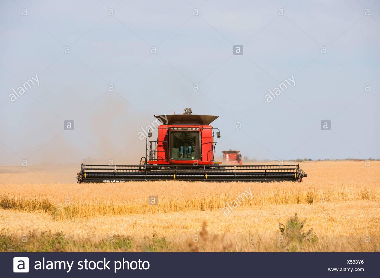 Combinando el grano agricultor podría utilizar su propia cosechadora Imagen De Stock