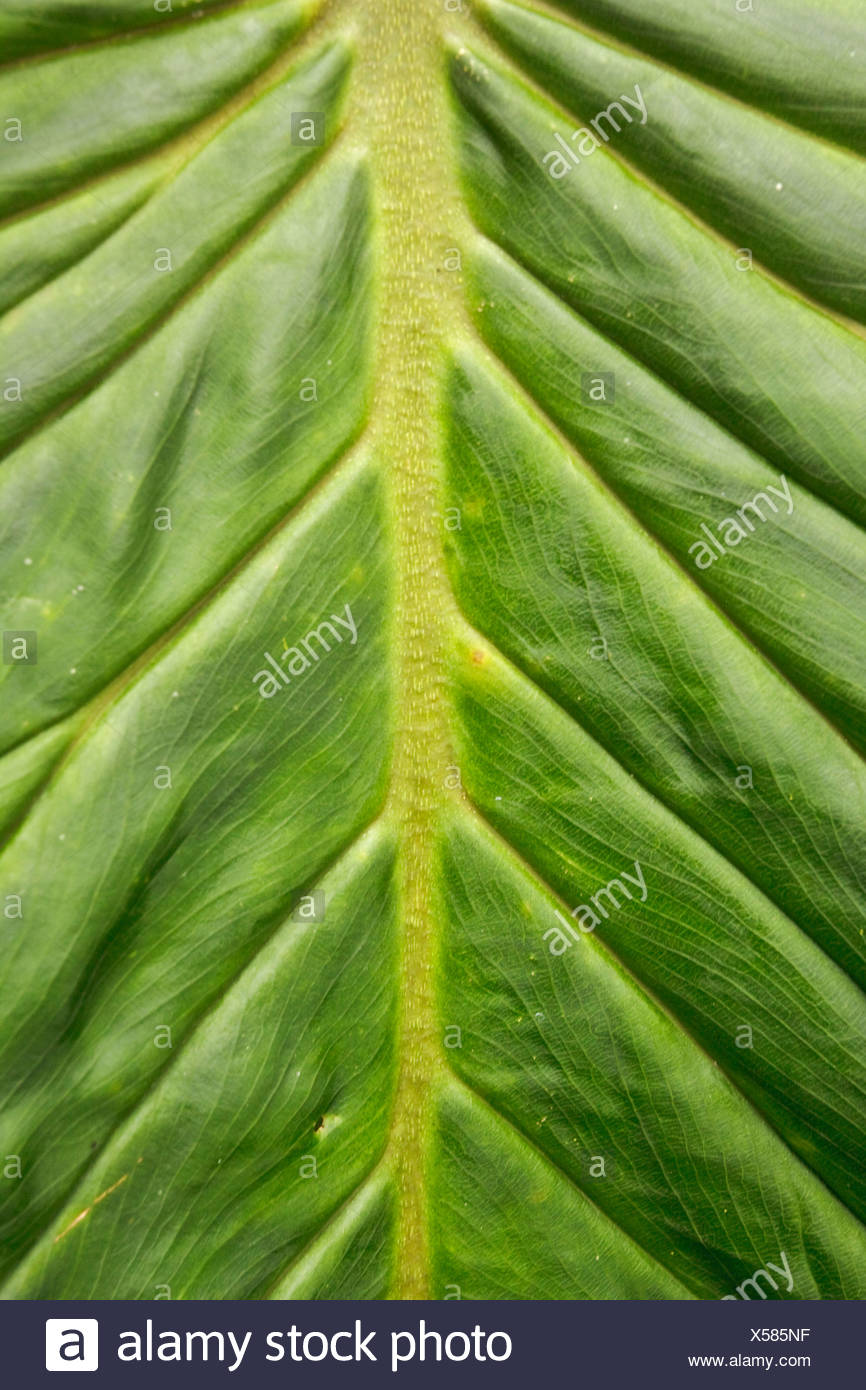 Patrones en la hoja de una planta grande en Ecuador. Imagen De Stock
