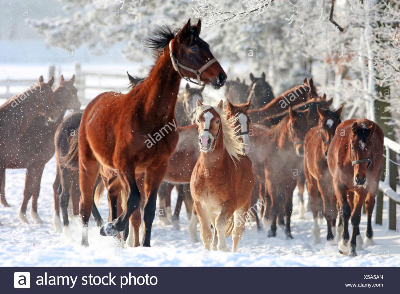Caballos en un prado en invierno, Graditz, Alemania Imagen De Stock