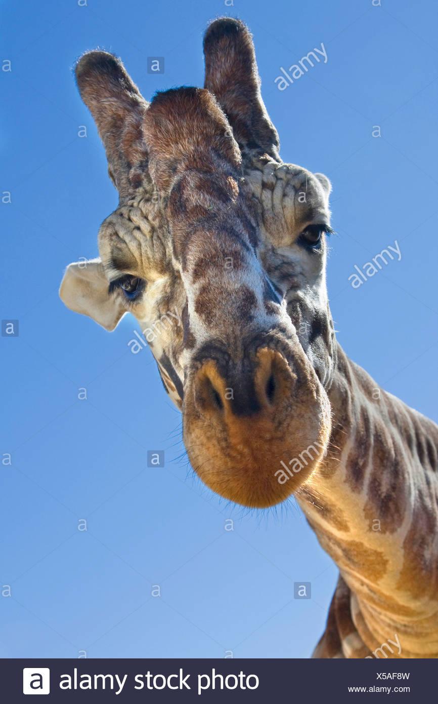 Jirafa (Giraffa camelopardalis), retrato, desde abajo Imagen De Stock