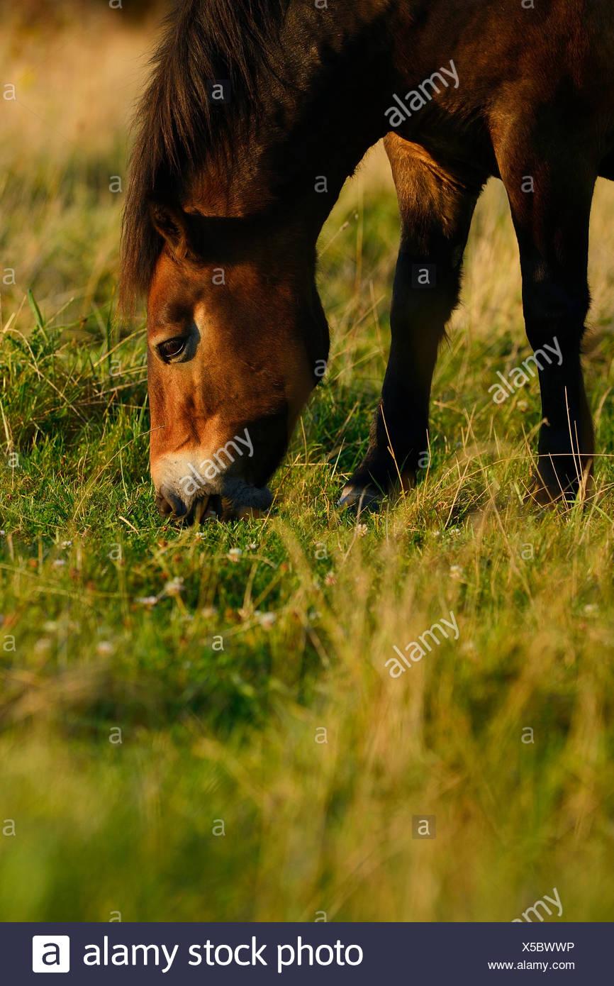 Ponis Exmoor, una de las más antiguas y más primitivas razas de caballos en Europa, Keent Reserva Natural, en los Países Bajos. Foto de stock