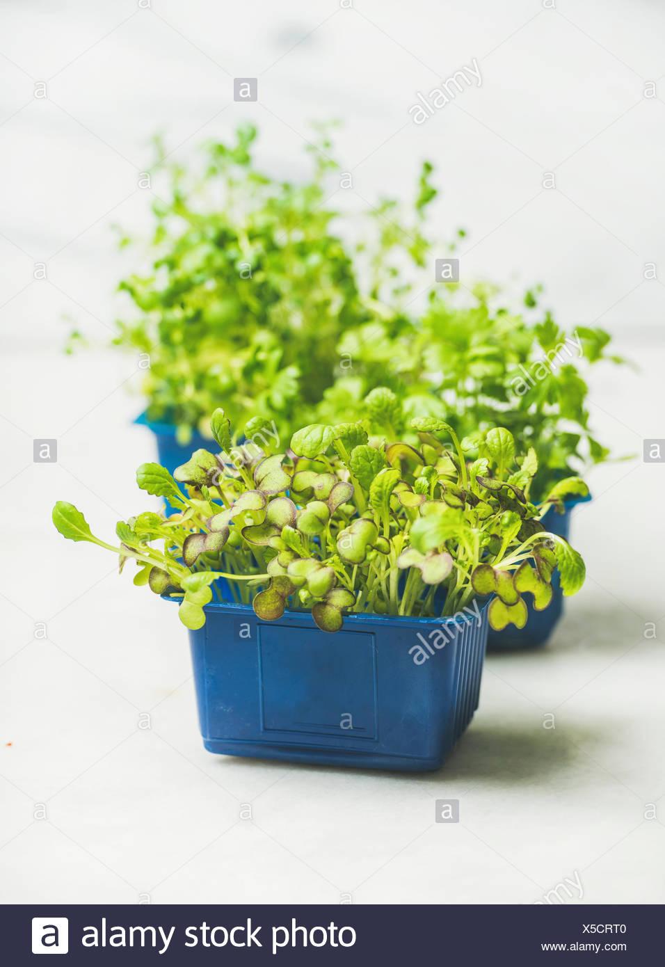 Primavera fresca verde Rábano vivo kress brota en macetas de plástico azul sobre fondo de mármol blanco para comer sano, el enfoque selectivo. Limpiar comer, dieta Imagen De Stock