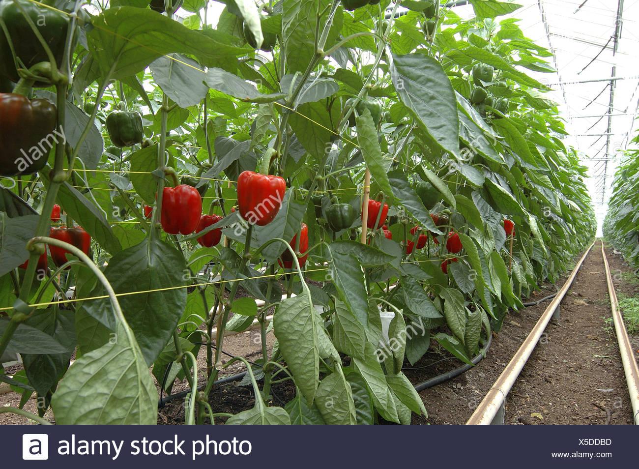 Pimientos rojos orgánica maduración en invernadero comercial Imagen De Stock