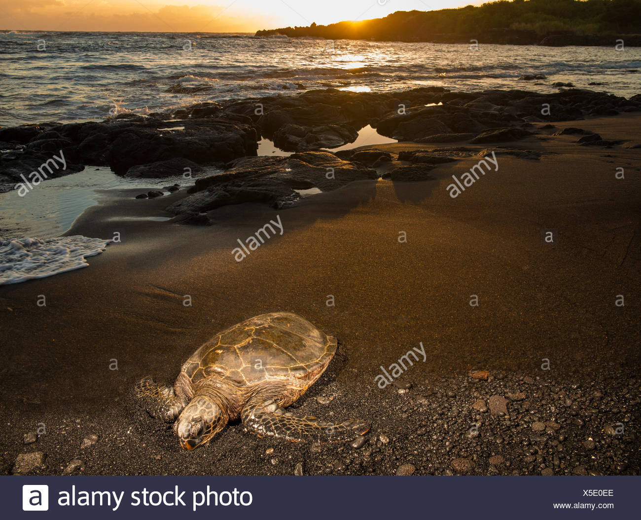Isla Grande,tortuga,Punaluu,playa de arena negra, Big Island,ESTADOS UNIDOS,Hawaii,Latina,animales,animal,Volcanical,lava Foto de stock