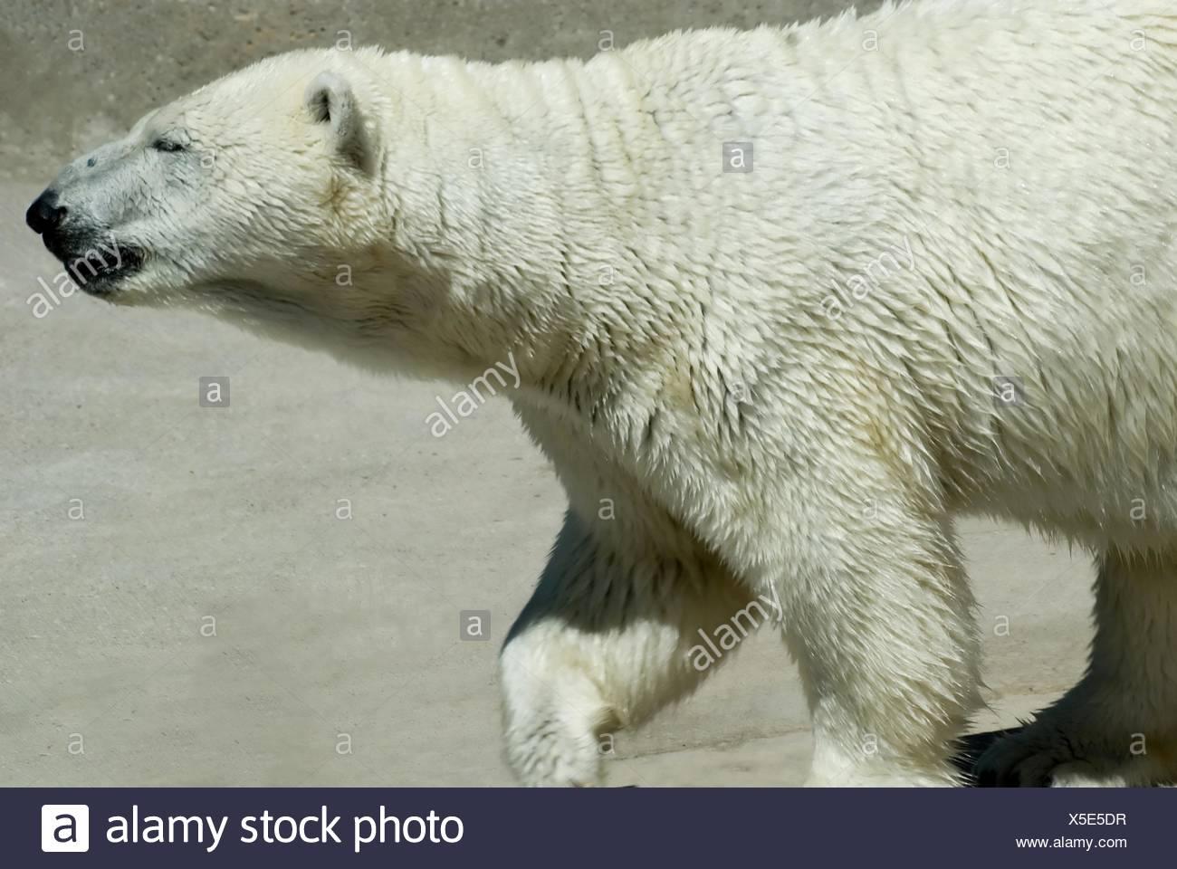 Oso Polar Foto de stock