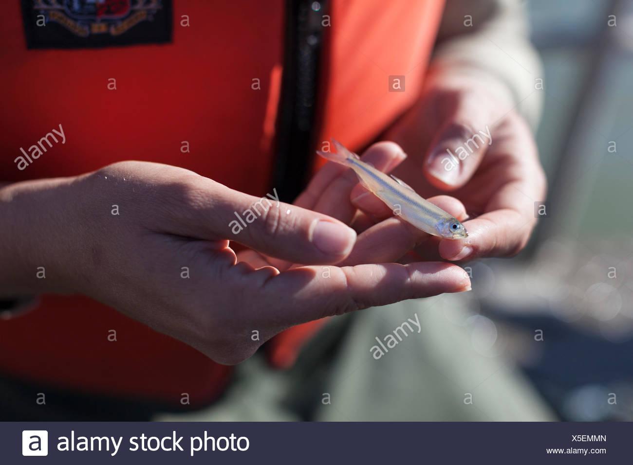 Científico medioambiental lauren damon de california departamento de peces y fauna silvestre, la realización de un muelle de arrastre de Kodiak para delta olía en el delta de California cerca de Antioquía, ca. encontraron un solo adulto. Foto de stock