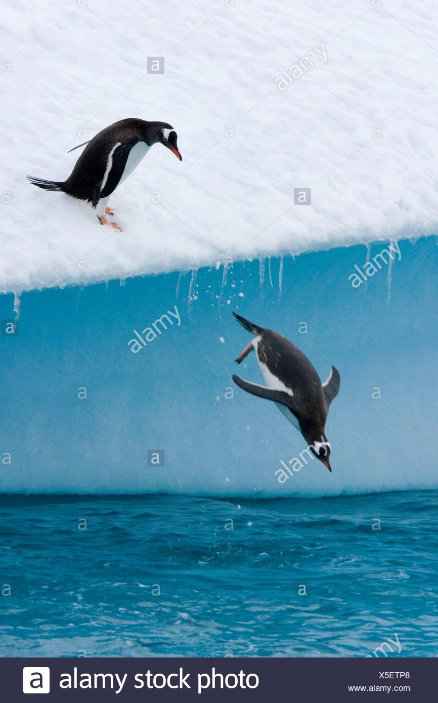 Pingüinos papúa (Pygoscelis papua), saltando de un iceberg Imagen De Stock
