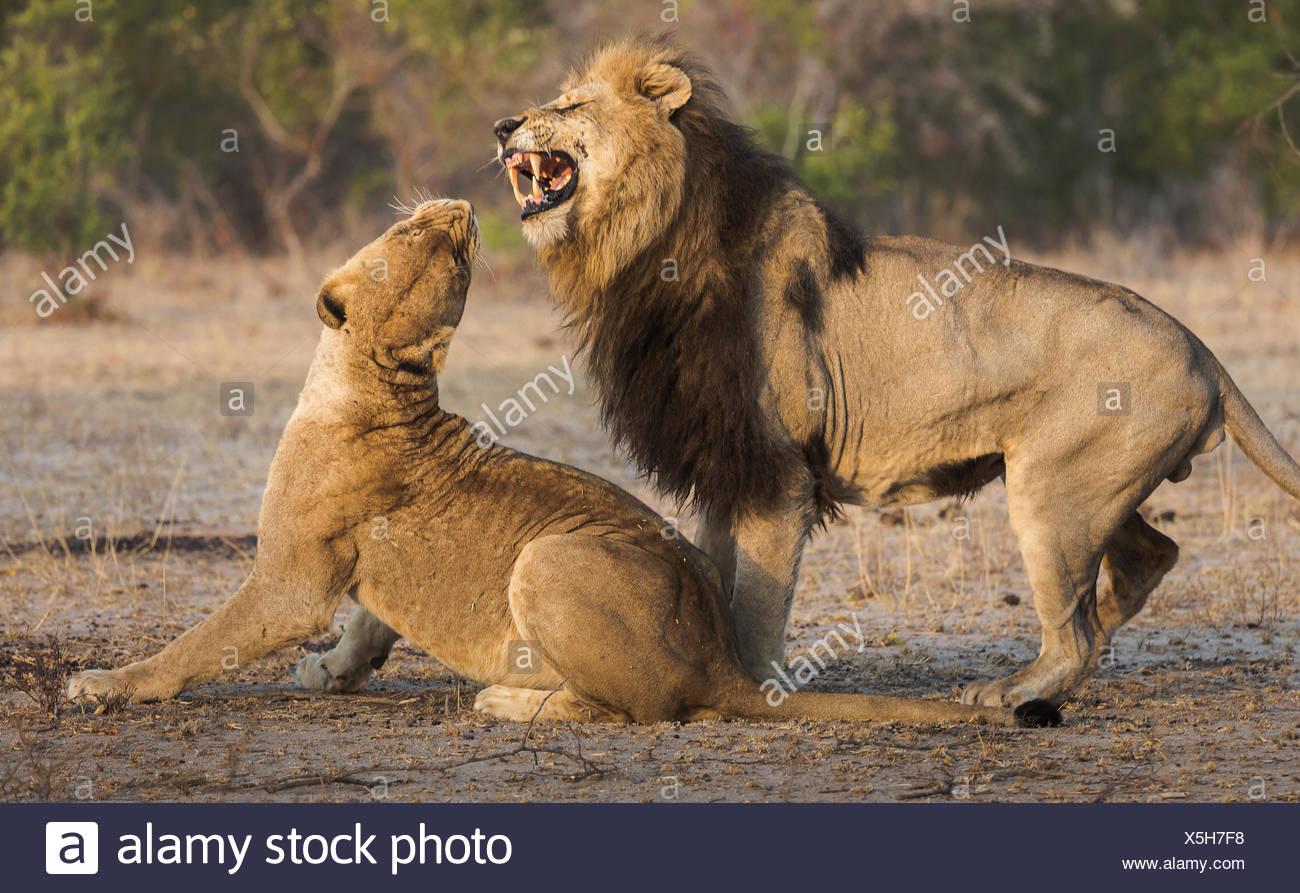 León macho intentando aparearse con una hembra, Panthera leo. Imagen De Stock