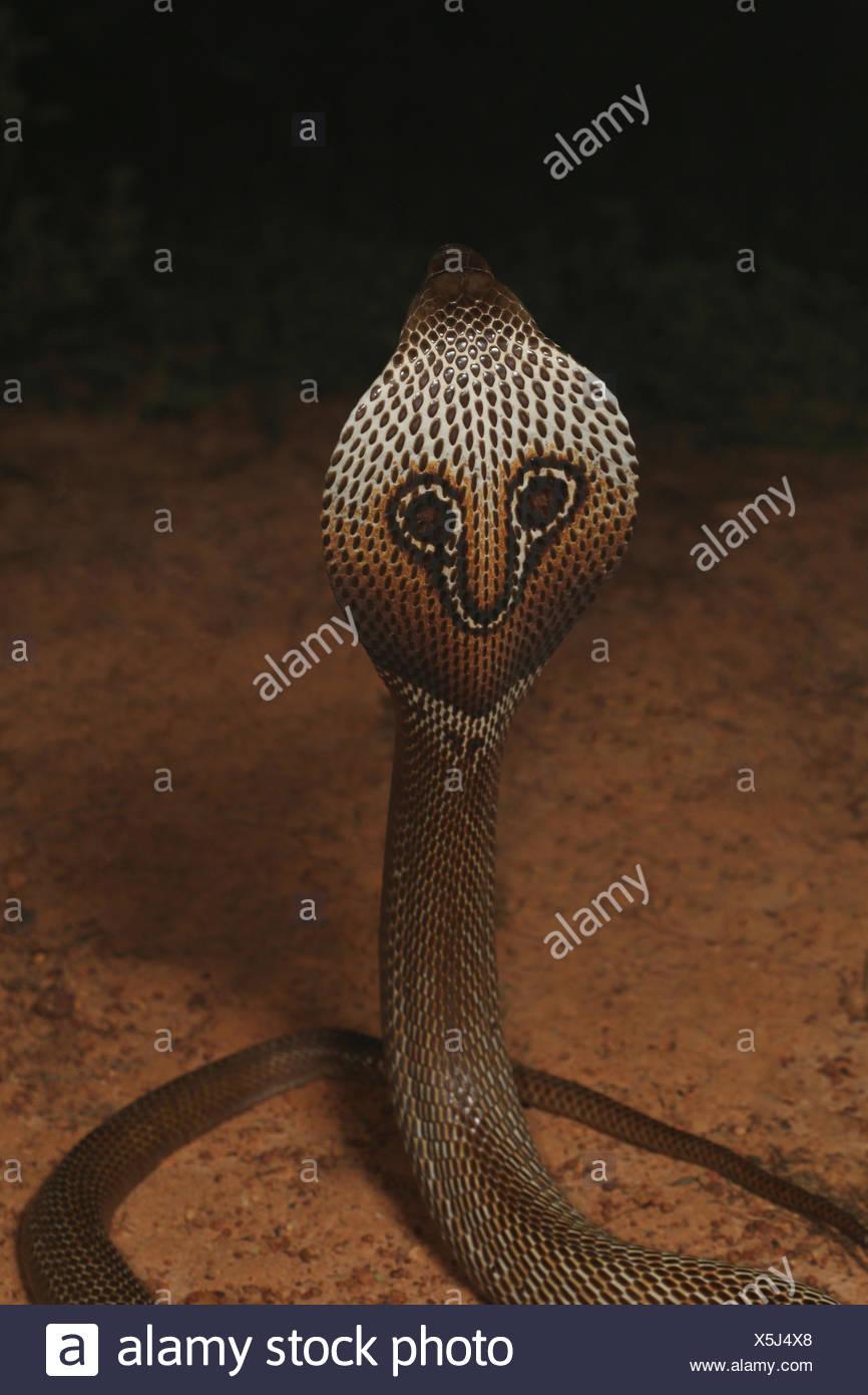 Oso cobra, Naja naja, Bangalore, Karnataka. La cobra de la India es uno de los cuatro grandes especies venenosas que causan la mayoría de mordeduras de serpiente en seres humanos en Foto de stock