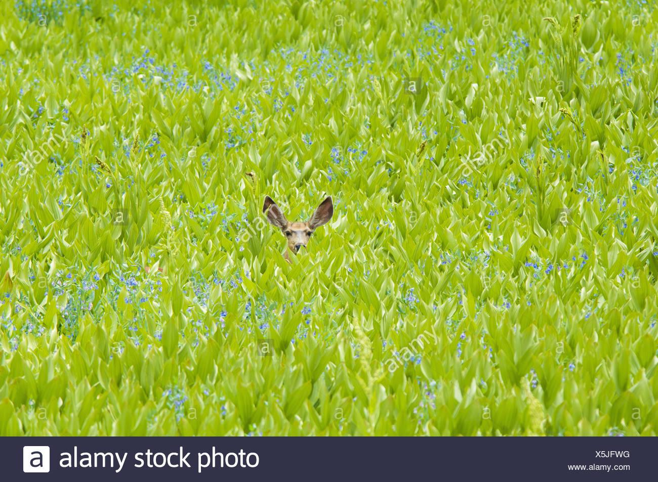 Un venado bura escondidos en un campo de flores silvestres y plantas falso hellebore orejas visibles Imagen De Stock