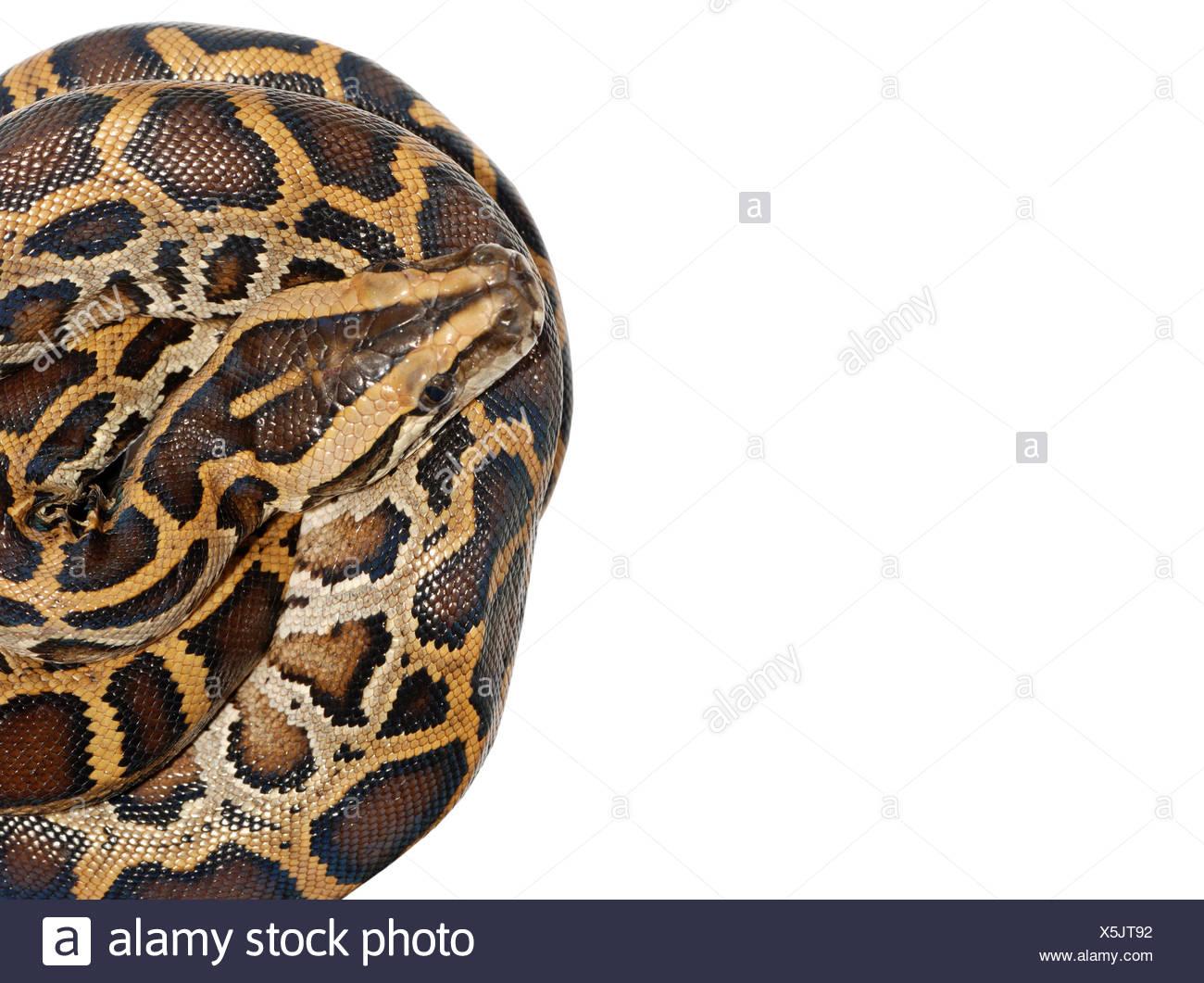 Boa serpiente cerrar aislado en blanco Imagen De Stock