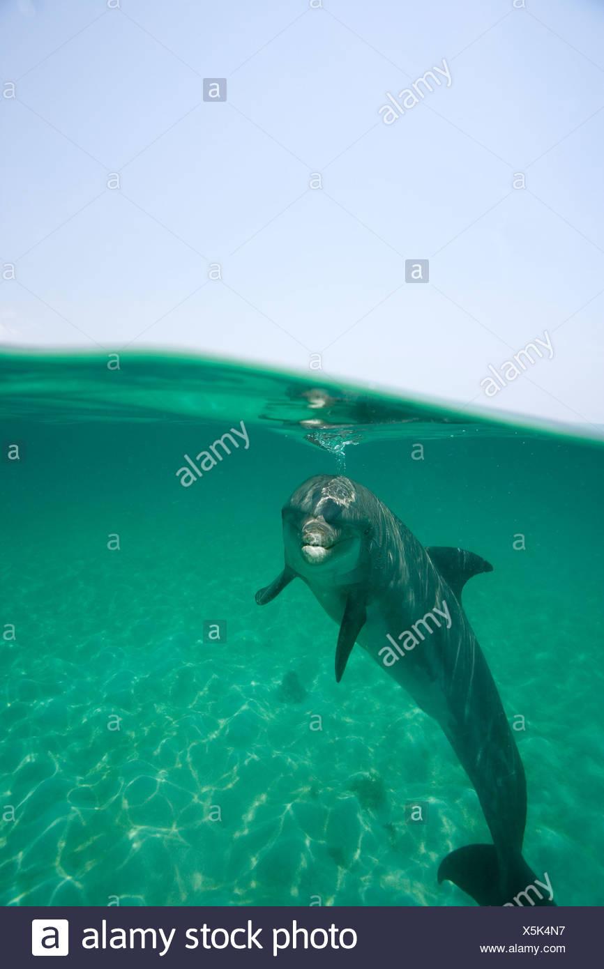 Over/under shot Atlántico de un delfín mular (Tursiops truncatus), Roatán, Honduras Foto de stock
