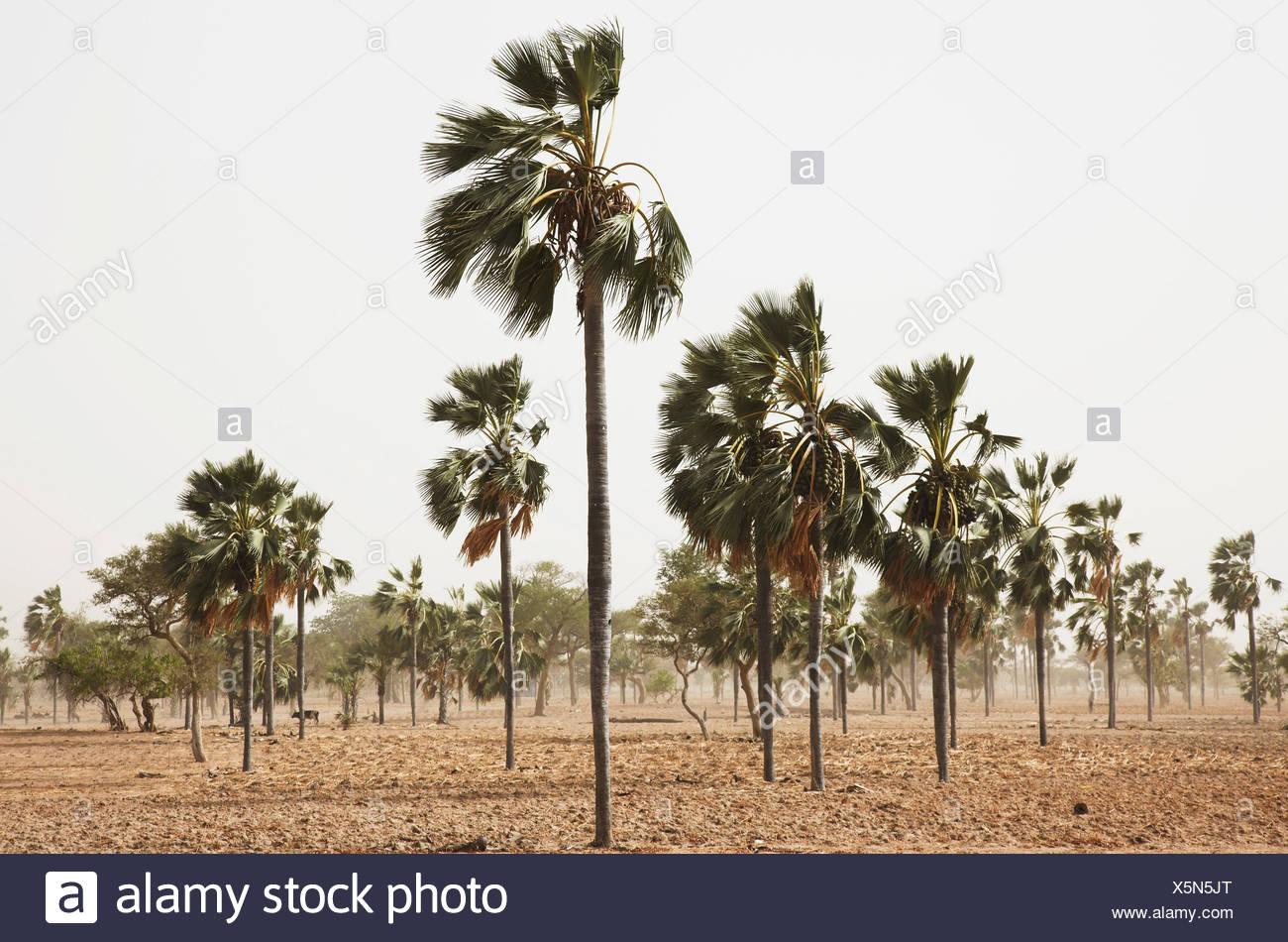 Palmeras en el viento, tierra Dogón, región de Mopti, Malí Foto de stock