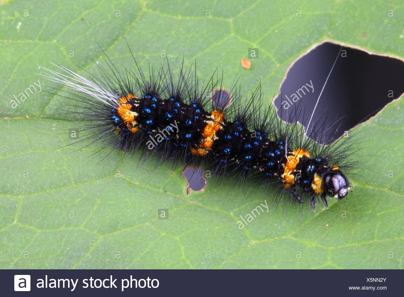 Un fuzzy gold y blue-banded caterpillar arrastrándose sobre una hoja. Imagen De Stock