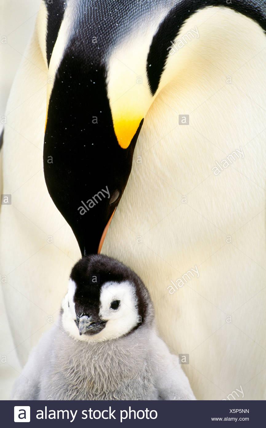 El pingüino emperador y el pollo, la Antártida Imagen De Stock